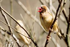 Free Finch On A Stick Royalty Free Stock Image - 2627246