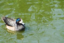 Free Duck In Water Stock Photo - 2627370