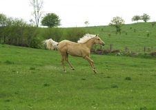 Free Prancing Pony Royalty Free Stock Image - 2627956