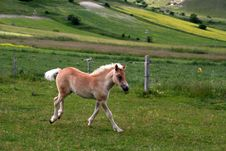 Free Running Foal Royalty Free Stock Photos - 2628118