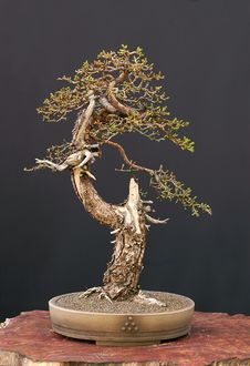 Free European Larch Bonsai Royalty Free Stock Image - 2628216