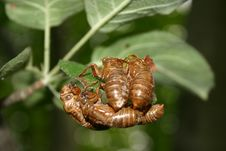 Cicada Shell Cluster Royalty Free Stock Images