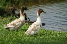 Free Double Ducks Royalty Free Stock Photo - 2628435
