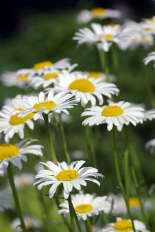 Free Daisies Stock Images - 2628684