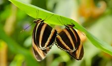 Free Two Butterflies Royalty Free Stock Photography - 2629057