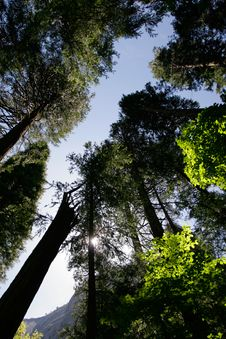 Tall Trees In Yosemite Royalty Free Stock Photography