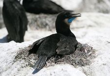 Free Brandt S Cormorant Stock Photo - 2629750