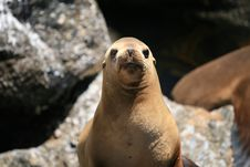 Free Sea Lion Royalty Free Stock Images - 2629779