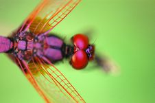 Free Tiny Red Dragonfly Stock Image - 2629951