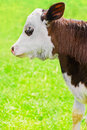 Free Little Calf On Meadow Stock Photo - 26205710