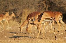 Free Impala Scratching Itchy Ear - African Antelope Royalty Free Stock Photos - 26200708