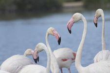 Free Group Of Flamingos. Horizontally. Royalty Free Stock Photography - 26208317