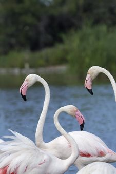 Free Group Of Three Flamingos. Vertically. Stock Photography - 26208322