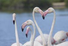 Free Group Of Flamingos. Horizontally. Royalty Free Stock Image - 26208336