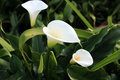 Free White Arum Lilies Stock Photo - 26213870
