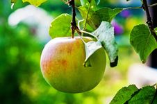 Free Ripe Apple On A Branch. Royalty Free Stock Photography - 26210837