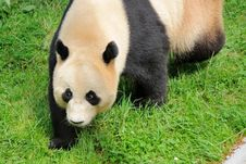 Free Giant Panda Royalty Free Stock Photography - 26214817