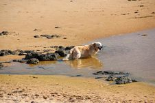 Free Golden Retriever At Beach Stock Images - 26215584