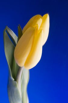Free Spring  Yellow Tulip  Blossom On Blue Background Stock Image - 26217401
