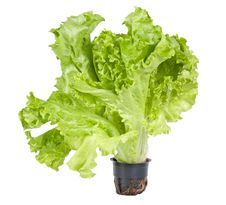 Free Green Lettuce Isolated On White Royalty Free Stock Photo - 26218935