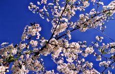 Free Almond Tree Royalty Free Stock Photo - 26219975