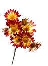 Free Chrysanthemum Stock Image - 26222411