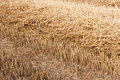 Free Closeup Of A Stupple Field After Harvesting Wheat Royalty Free Stock Image - 26223096