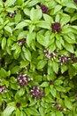 Free Basil Plant Background Stock Images - 26223784