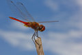 Free Dragonfly Royalty Free Stock Photos - 26228808