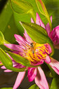 Free Close Up Of Lotus Flower Stock Images - 26229004
