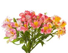 Free Alstroemeria Stock Photos - 26222433