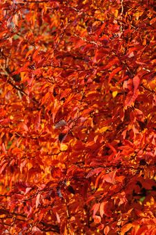 Free Red Autumn Leaves Stock Photo - 26222620