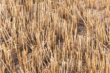Free Closeup Of A Stubble Field After Harvesting Stock Photography - 26222732