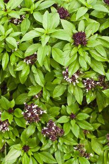 Basil Plant Background Stock Images