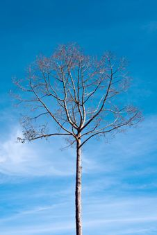 Free Branches Of Dead Tree Royalty Free Stock Photography - 26223847