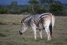 Free Zebra Grazing Stock Photo - 26224620