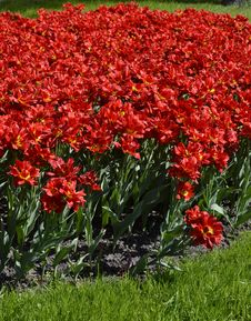 Free Red Tulips Royalty Free Stock Images - 26225009