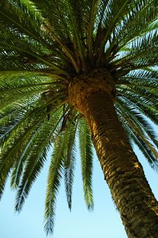 Free Palm Tree Royalty Free Stock Photos - 26225568