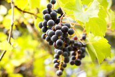 Sweet Grapes Stock Photos