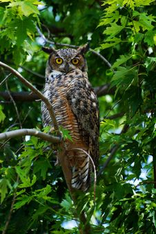Free Great Horned Owl Royalty Free Stock Image - 26229396