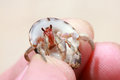 Free Hermit Crab, Pagurian Stock Photography - 26231212