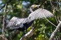 Free Great Cormorant&x28;Phalacrocorax Carbo&x29; Stock Images - 26231364