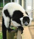Free Black & White Ruffed Lemur Royalty Free Stock Photography - 26235687