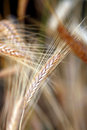 Free Golden Wheat Close Up Stock Image - 26235921