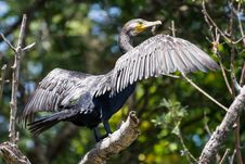 Free Great Cormorant&x28;Phalacrocorax Carbo&x29; Stock Images - 26231364