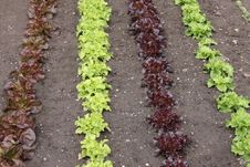 Free Lettuces In A Garden. Stock Photos - 26233263