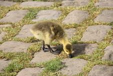 Free Baby Gosling. Stock Photography - 26233302