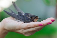 Free Swallow Sitting On A Palm Stock Photography - 26237962