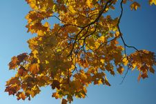 Free Branch Of Maple Stock Photography - 26239102