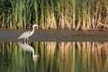 Free Gray Heron Royalty Free Stock Photo - 26242035